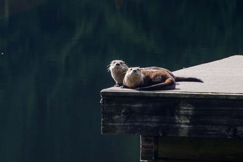 Otters on the dock
